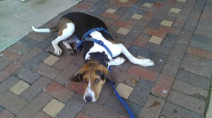 We chilled at Starbucks after some dog park playtime. The horrible hound enjoyed the shade and the cool(er) bricks.